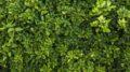 Carenza di zolfo nelle piante